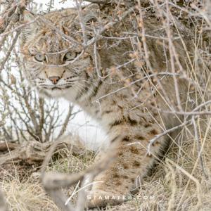 Bobcat-0909