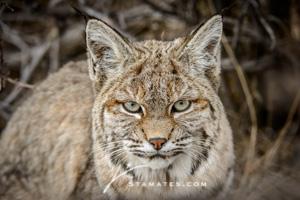 Bobcat-0932