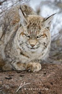 Bobcat-1131