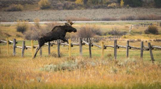 Moose-03-2013