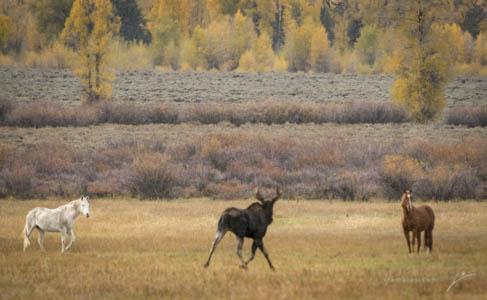 Moose-04-2013