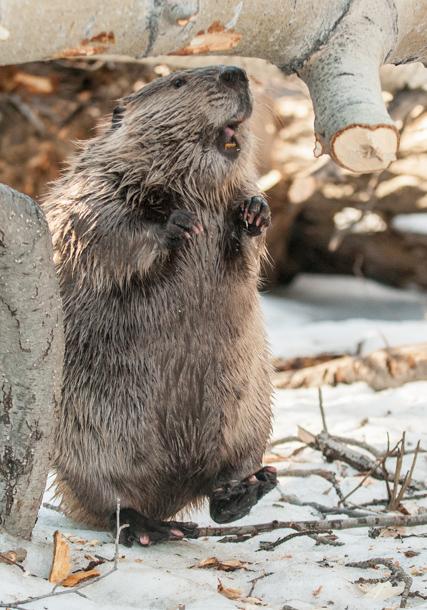 04 - Dancing Beaver