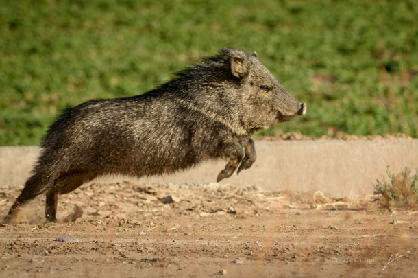 05 - Flying Javelina