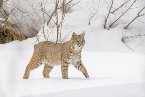 Bobcat-_8105945