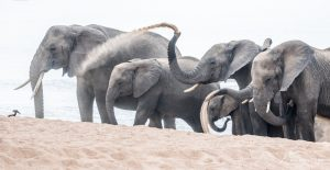 elephant-group