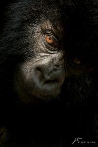 gorilla-face