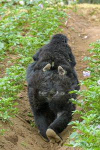gorilla-feet