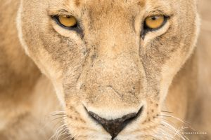 lioness-face