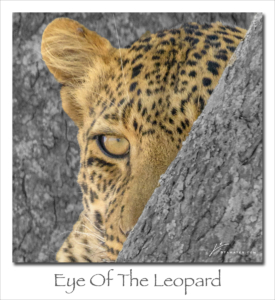 190304 Eye of the Leopard