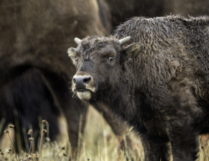 dbh American Bison - Adolescent in the Rain