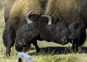 dbh American Bison - Butting Heads