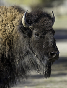 dbh Portrait of an American Bison