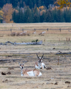 Teri L mr and mrs pronghorn