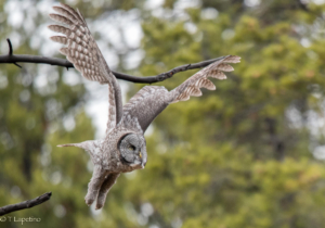 Teri L owl in flight
