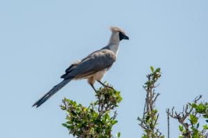 AP-Bare-faced Go-away-bird