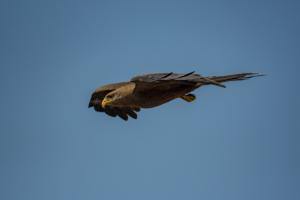 AP-Black-shouldered Kite