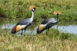 AP-Grey-crowned Cranes