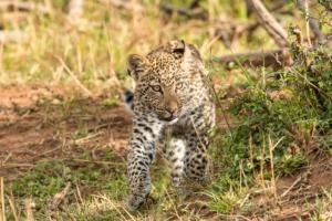 AP-Leopard Cub