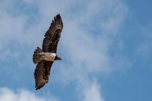 AP-Martial Eagle