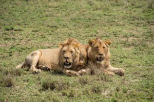 AP-Pals Lion Round