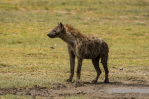 AP-Spotted Hyena