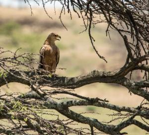 AP-Tawny Eagle