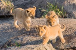 AP-Babies Lion 1