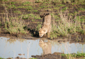 AP-Cheetah in drinking water 1