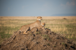 AP-Cheetah mom with cub 5