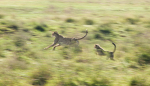 AP-Cheetah mom with cub in slow motion 1