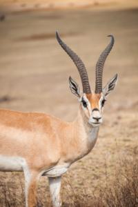 AP-Dorcas Gazelle 1