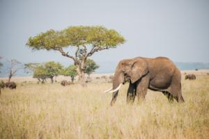 AP-Elephant 6