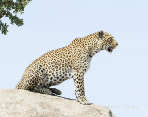 CW-leopard surveying his realm (1 of 1)