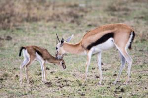 JW-Gazelle n baby
