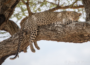 JW-Leopard on limb
