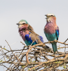 JW-Lilac Breasted Roller pair