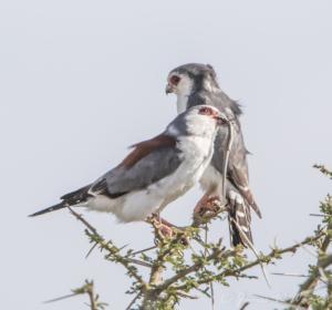 JW-Pigme Falcon