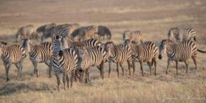 JW-Zebra herd