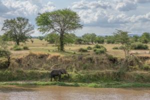 JB-Elephant Grazing