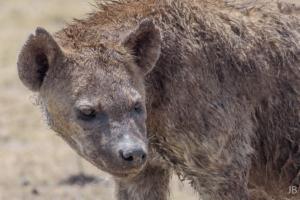 JB-Hyena Portrait