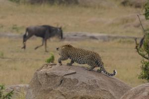 JB-Leopard Eyes Wildebeast