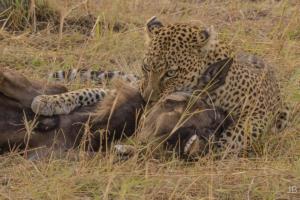JB-Leopard Killing A Wildebeast