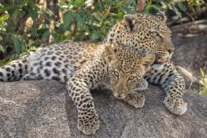 JB-Leopard Mother & Cub