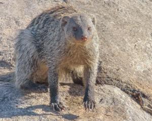 JB-Mongoose Portrait