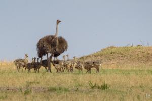 JB-Ostrich Family