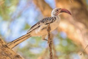 JB-Red Billed Hornbill