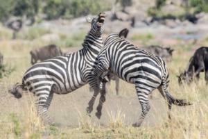 JB-Zebra Dispute