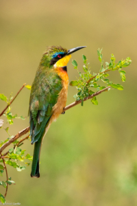 MWC-Birds, Cinnamon-chested bee-eater