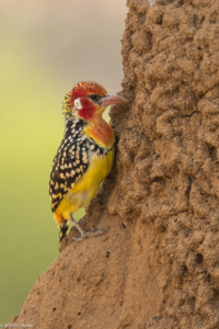 MWC-Birds, Red and Yellow Barbet
