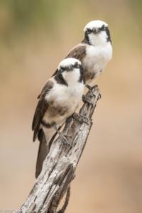 MWC-Birds, White headed buffelo Weaver